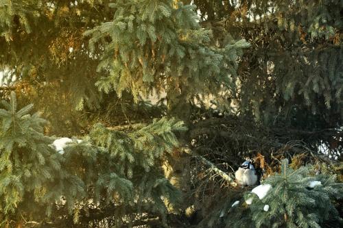 bluebird low res